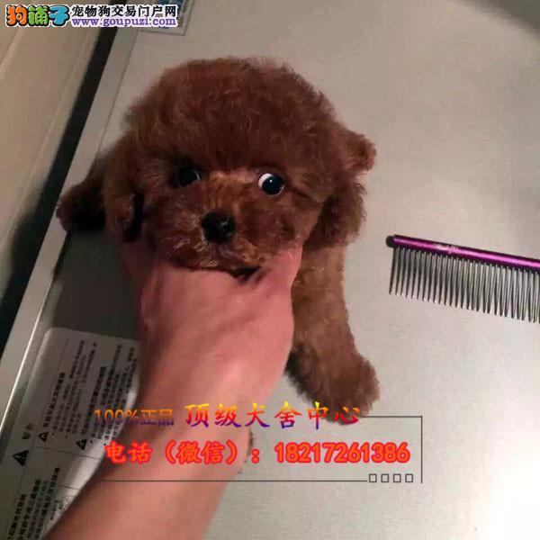正规狗场 犬舍直销 纯种泰迪犬 真实照片包纯