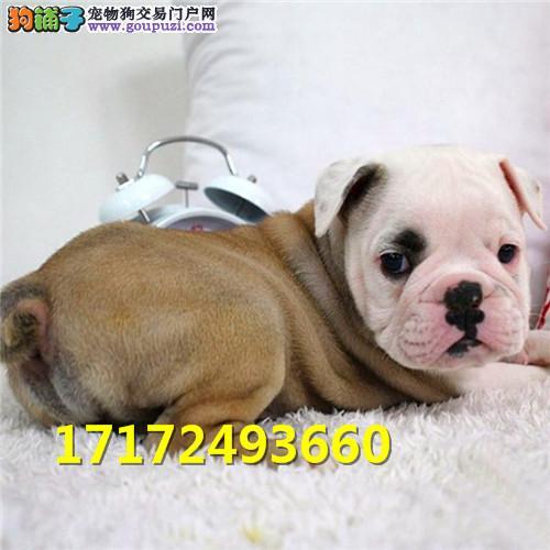 纯种血统英国斗牛犬幼犬 出售 赛级黄白花色英牛幼犬