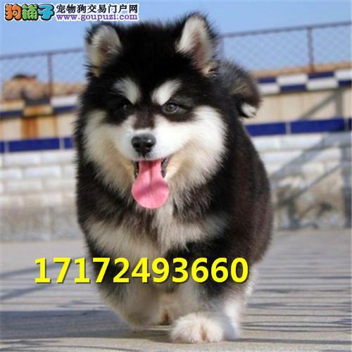 巨型阿拉斯加犬 大骨架阿拉幼犬出售 雪橇犬大型犬