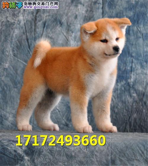 日本柴犬 柴犬幼犬 活体宠物狗狗 支持支付宝全国发货
