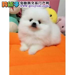 武汉出售高品质纯种博美幼犬 优选犬舍品质保证