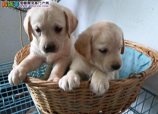 纯种拉布拉多幼犬 拉布拉多价格 赛级拉布拉多