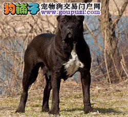 纯种杜高犬多少钱一只