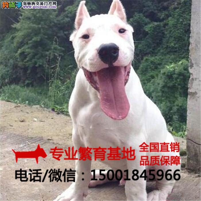 出售纯种杜高犬、比特犬、疫苗全签协议包健康送狗用品