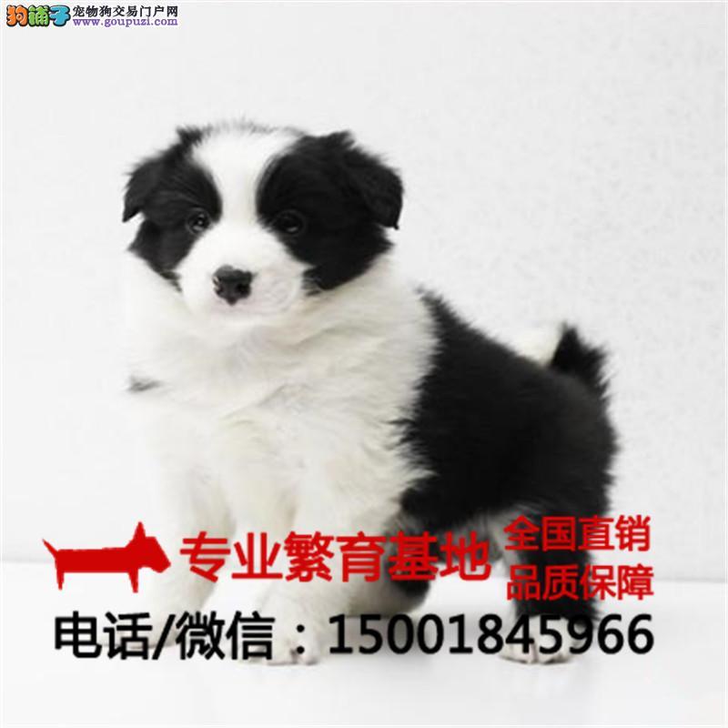 出售纯种边牧犬、金毛犬、疫苗全签协议包健康送狗用品
