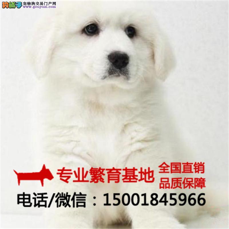 自繁自销、纯种大白熊 哈士奇、签协议包健康送狗用品