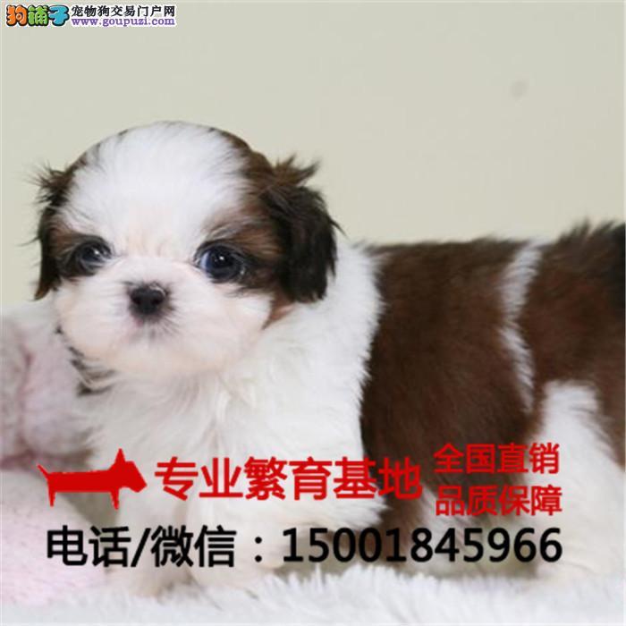 出售纯种西施犬、马尔济斯疫苗全包健康买狗送用品狗粮