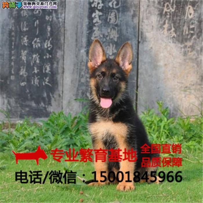 纯种德牧犬杜宾犬高加索/签协议包健康/买狗送用品狗粮
