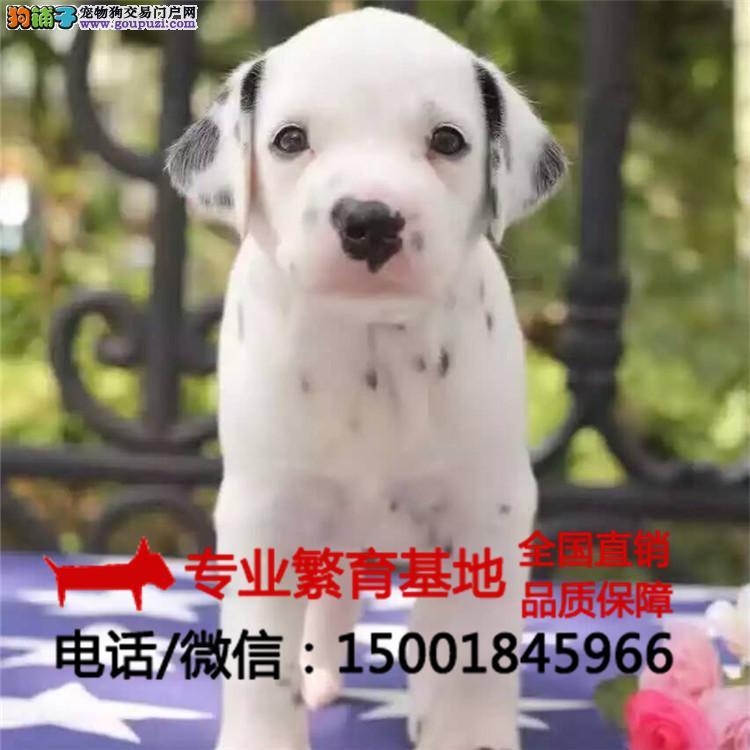 出售纯种斑点狗苗齐全/签协议包健康/买狗送用品狗粮