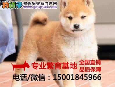 纯种柴犬、秋田犬疫苗齐全、签协议包健康买狗送用品