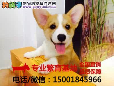 纯种柯基犬双色三色齐全/签协议包健康/买狗送用品狗粮