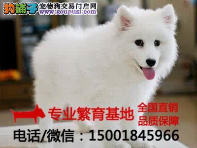 专业繁殖出售纯种银狐犬/签协议包健康/买狗送用品狗粮