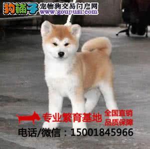 纯种秋田犬柴犬疫苗齐全/签协议包健康/买狗送用品狗粮