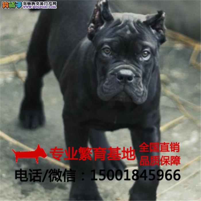 出售纯种卡斯罗、杜宾犬、疫苗全签协议包健康送狗用品