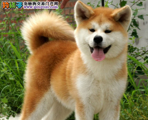 基地直销高品质日系美系秋田幼犬包售后 宠物狗活体