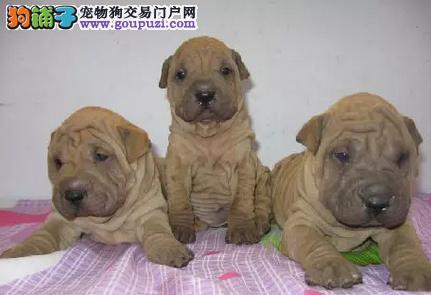 正规犬舍繁育出售纯种高品质皱褶沙皮犬