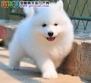 出售纯种忠诚天使微笑萨摩耶幼犬 包健康 宠物狗活体