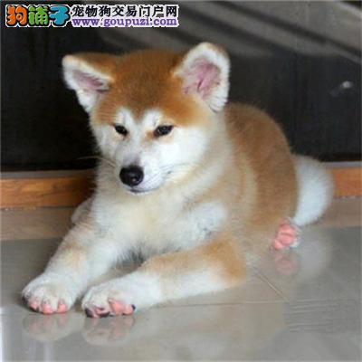 送货上门 专业繁殖秋田犬 签售后协议