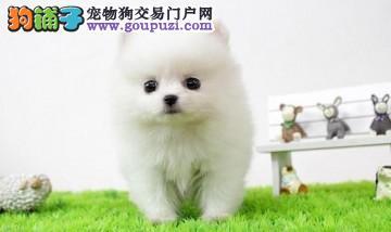 博美犬宝宝,很憨厚又很乖巧可爱