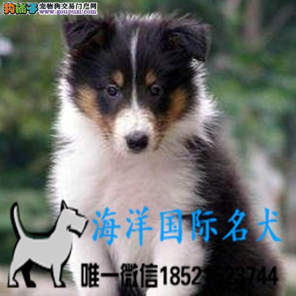 基地直销高品质苏牧犬、保健康保纯种、签售后协议