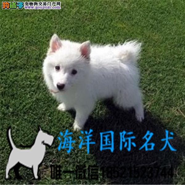 高品质银狐犬 基地直销 保纯种健康 欢迎实地挑选