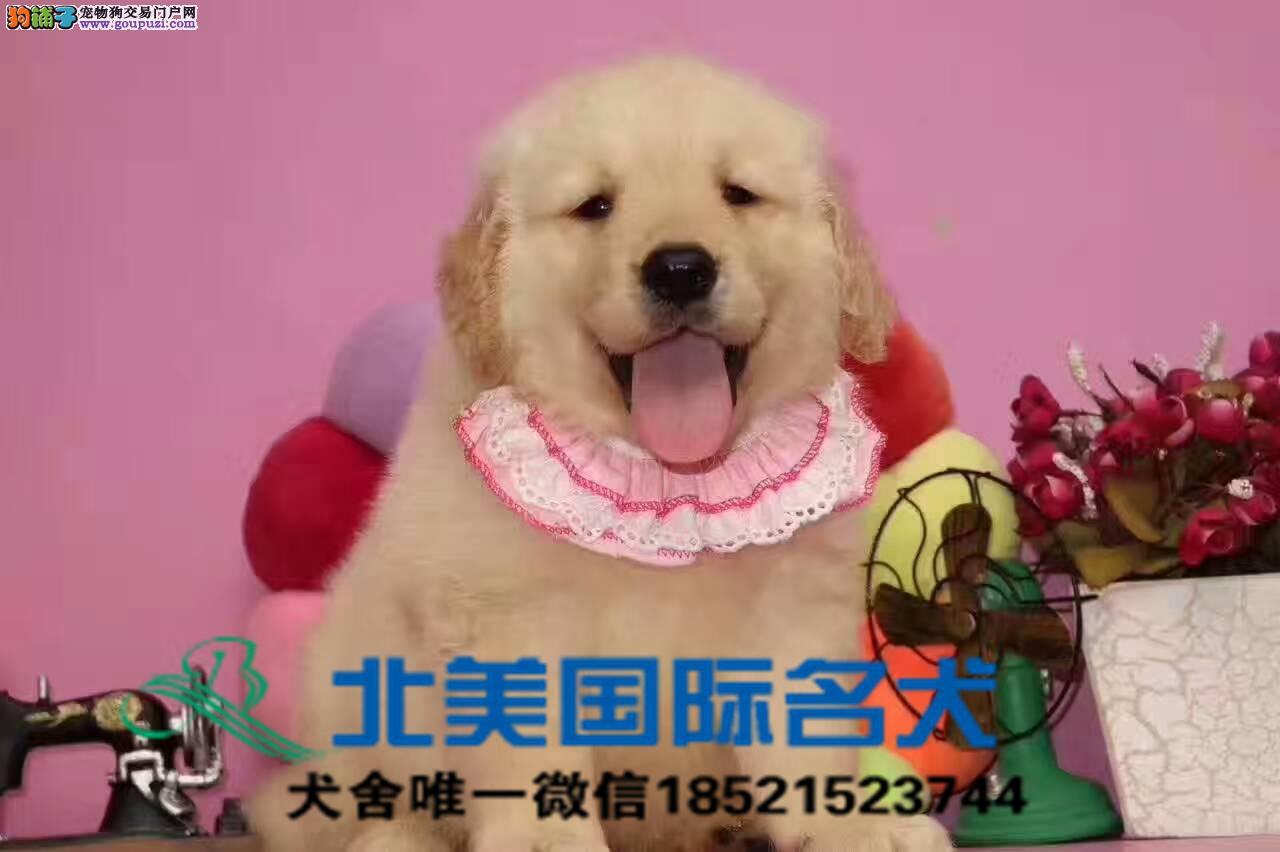 专业基地直销高品质金毛犬、保健康保纯种、签售后协议