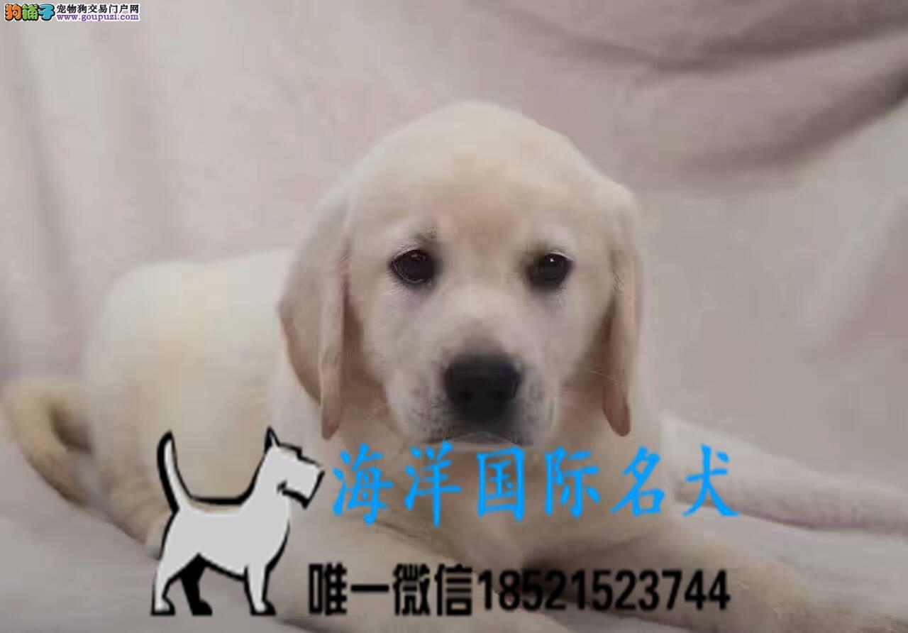 高品质拉布拉多犬 基地直销 保纯种健康 欢迎实地挑选