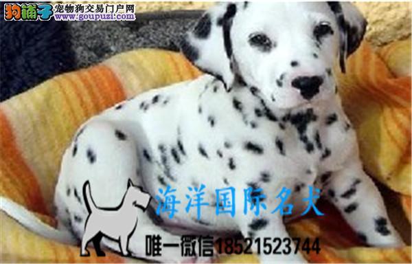 纯种犬繁殖基地出售斑点幼犬 疫苗做齐签订售后协议