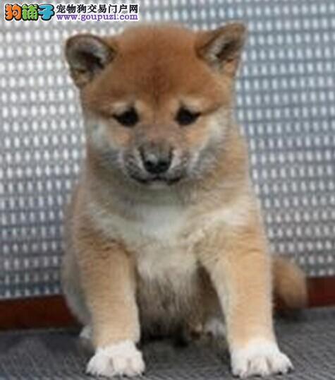 日本柴犬赤红色铁包金柴犬 带血统带证书 免费送上门