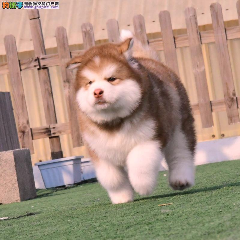 纯种大骨架的阿拉斯加雪橇犬 很熊版也很大气