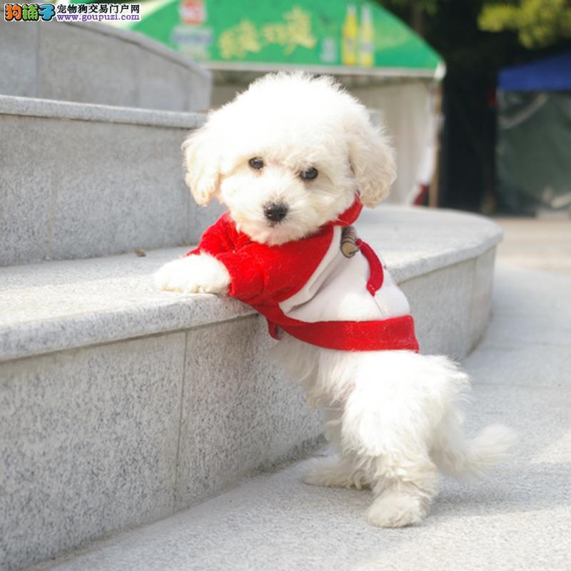 韩国引进大眼睛甜美脸型比熊幼犬保纯种健康质保终身