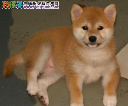 正规犬舍繁育出售纯种高品质日本名犬柴犬 包纯包健康