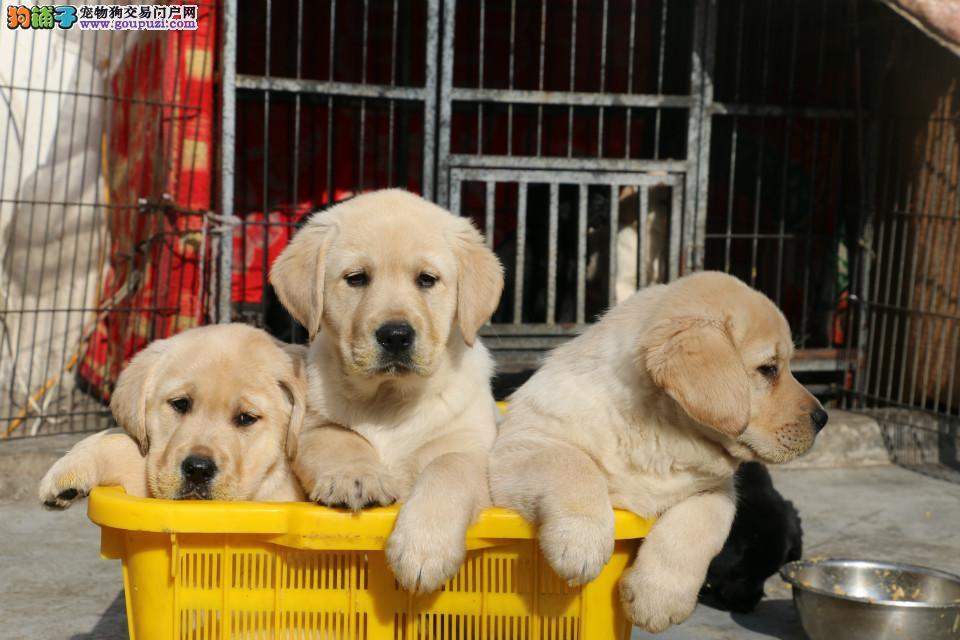最佳伴侣犬拉布拉多、专业繁殖、品质保证、实物拍摄