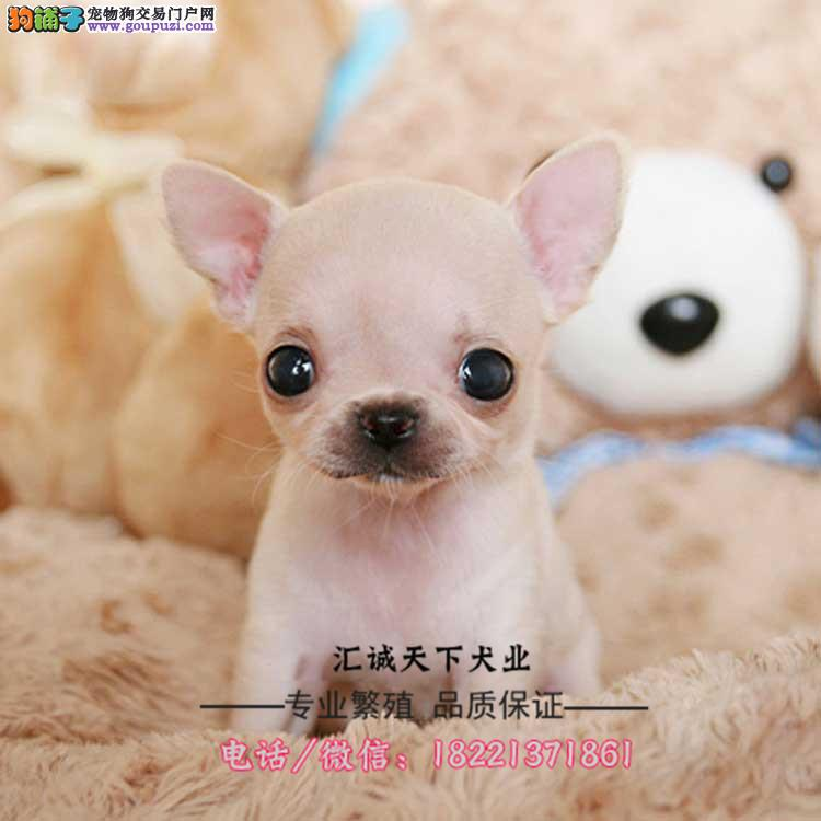 马犬幼犬、工作犬可训练爬树、翻墙、灵活、服从忠诚