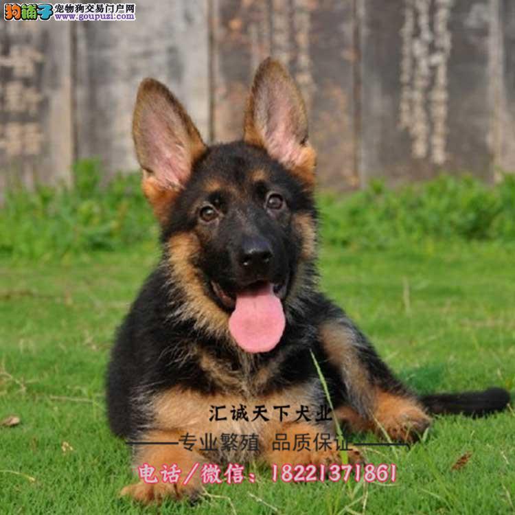 狼狗幼犬、个性凶猛、嗅觉灵敏、性情凶狠、服从性强