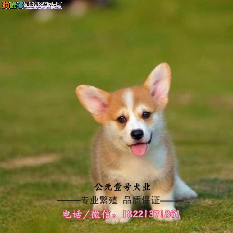 柯基幼犬、毛色对称、白通脖小短腿、威尔士柯基幼犬