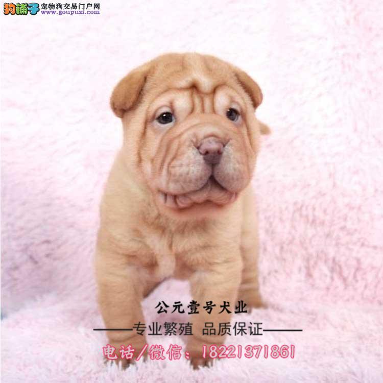 沙皮幼犬、黑鼻头、紫舌头、黑土白红色、大皱纹斗犬