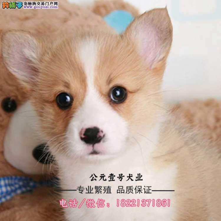 威尔士柯基幼犬、性情温顺可陪伴小孩、适合家养繁殖