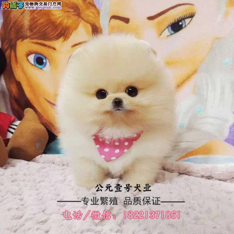 博美幼犬、哈多利球形博美、俊介黄白带血统证书幼犬
