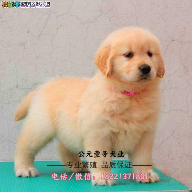 金毛幼犬、家庭伴侣犬、导盲犬、大骨骼毛量足品相好