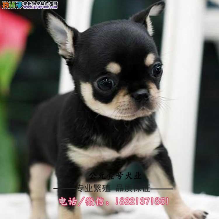 西施犬幼犬、超小体西施幼犬、西施犬多少钱哪里买卖