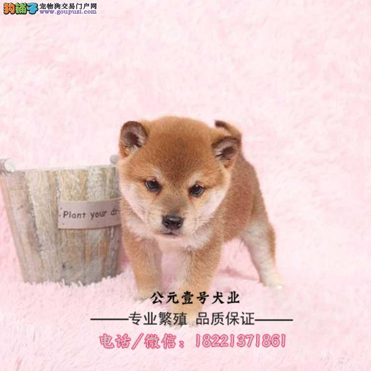 柴犬幼犬、纯种日系柴犬、黑赤色大骨骼、白嘴巴柴犬