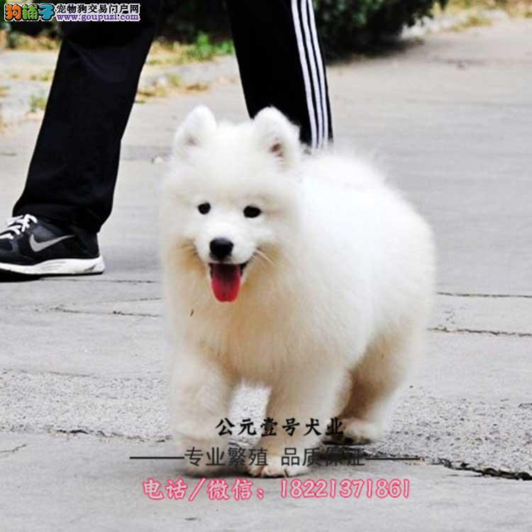 萨摩耶幼犬、微笑天使、情侣首选、训练完成、赛级犬