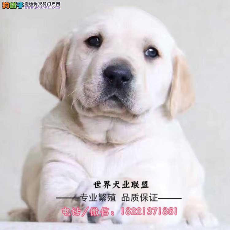 正规犬舍繁殖、诚信交易、纯种拉布拉多、可签协议
