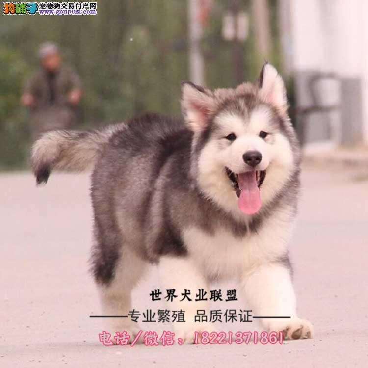 中亚牧羊犬幼犬、性情温顺可陪伴小孩、适合家养繁殖