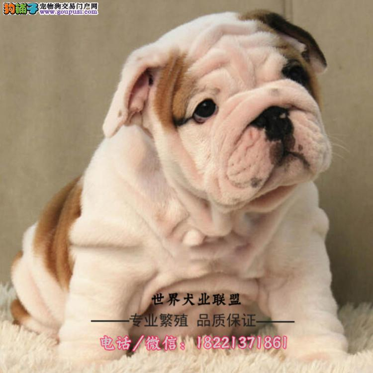 英斗幼犬、虎皮英斗、纯白英斗、海盗眼英斗幼犬出售