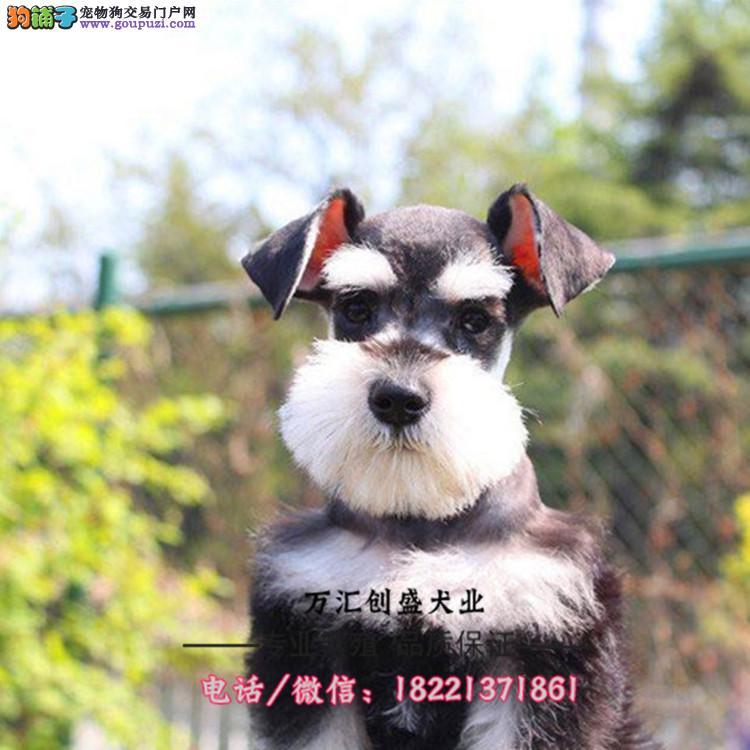 比格犬幼犬、大耳朵对称色比格幼犬多少钱哪里有买卖