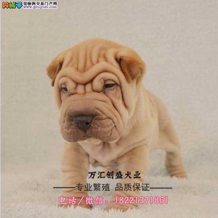 沙皮幼犬、黑鼻头、紫舌头、大皱纹斗犬、黑土白红色