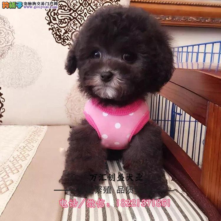泰迪贵宾犬、茶杯泰迪、玩具泰迪、迷你型红白黑灰色