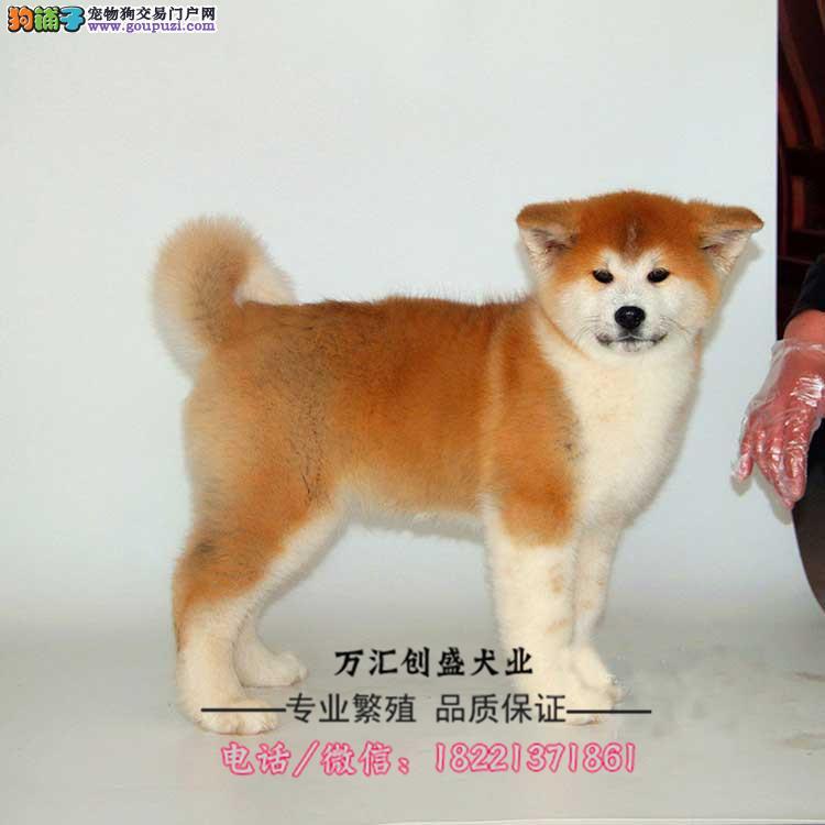 秋田犬幼犬、日系秋田犬、忠犬八公、赤色白色虎斑色
